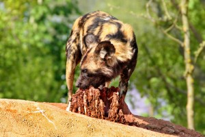African painted dog (Shutterstock)