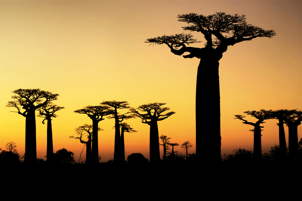 Baobab trees at sunset, Madagascar (Shutterstock)
