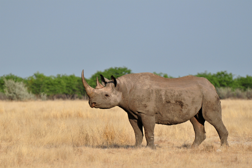 Black Rhino in Etosha National Park, Namibia (Shutterstock)