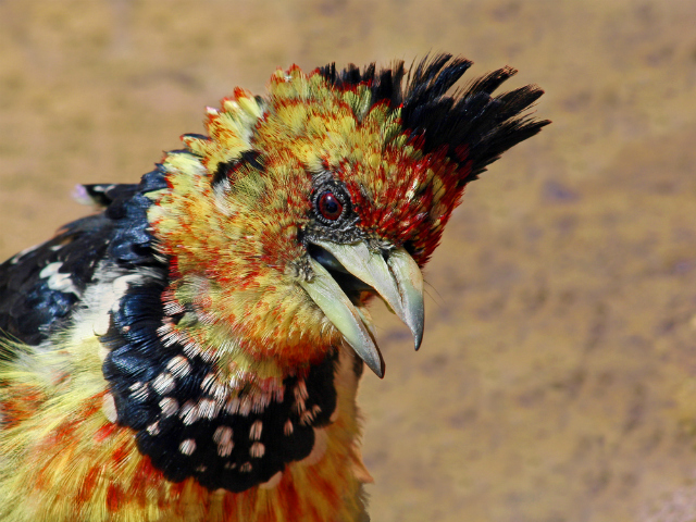 Crested barbet (Shutterstock)