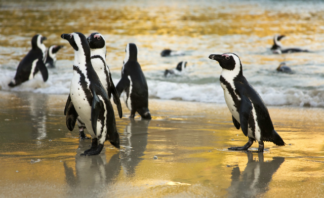 "African ""Jackass"" Penguins at Boulders Beach, Cape Town (Shutterstock)"