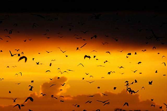 Bat migration, Kasanka National Park, Zambia (destinationzambia.co.zn)