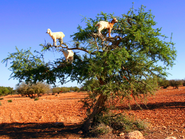 Goat feeding in an argan tree, Morocco (Shutterstock)