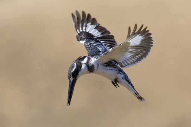 Pied Kingfisher (Shutterstock)