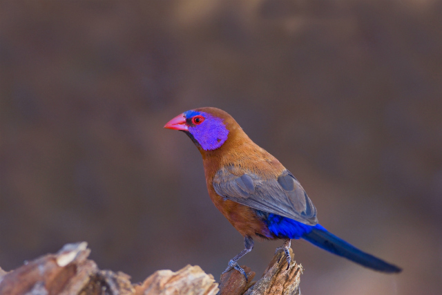 Violet-eared Waxbill (Shutterstock)