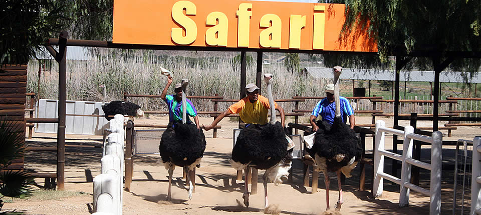 An ostrich race at Safari Ostrich Show Farm (courtesy of Safari Ostrich Show Farm)