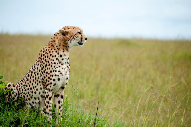 an analysis of the many endangered species in the world and the cheetah as one of them Biodiversity hotspots 1919 m street, nw,  one of the world's five  one-quarter of all mexico's plant species are found here, many of them found nowhere.