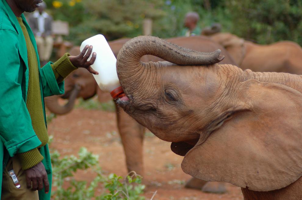 Baby elephant orphan