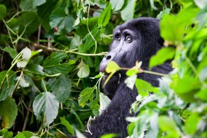 Rare Silverback gorilla in Bwindi Impenetrable Forest, Uganda (Shutterstock)