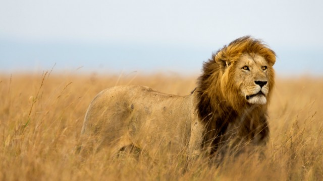 Image result for lions in masai mara
