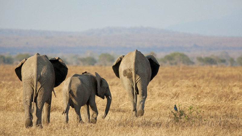 Tanzania cuts elephant hunting permits in half