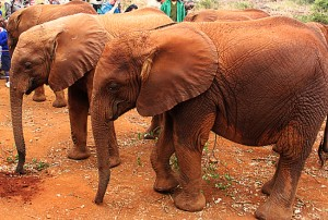 Elephants at David Sheldrick Wildlife Trust, Nairobi. Photo by Susan McKee