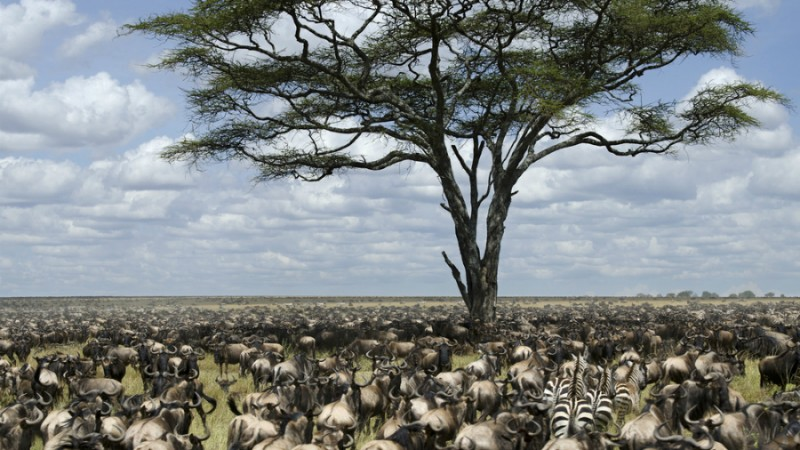 The Where And When Of The Great Wildebeest Migration