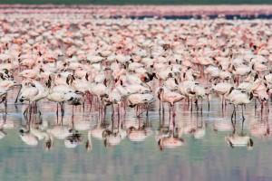 Flamingos at Lake Nakuru, Kenya (Shutterstock)