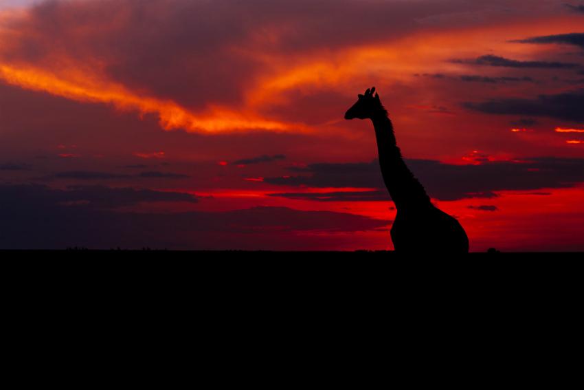 Giraffe in Kruger National Park (Shutterstock)