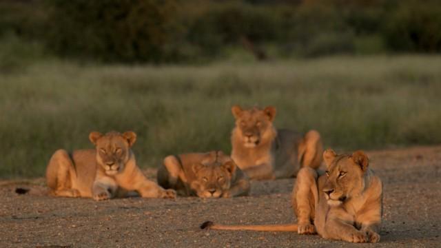 lions madikwe