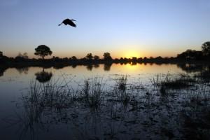 A yellow-billed stork flies over the Okavango Delta in Botswana, at dusk. (Shutterstock)