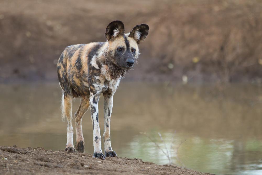 painted dog madikwe