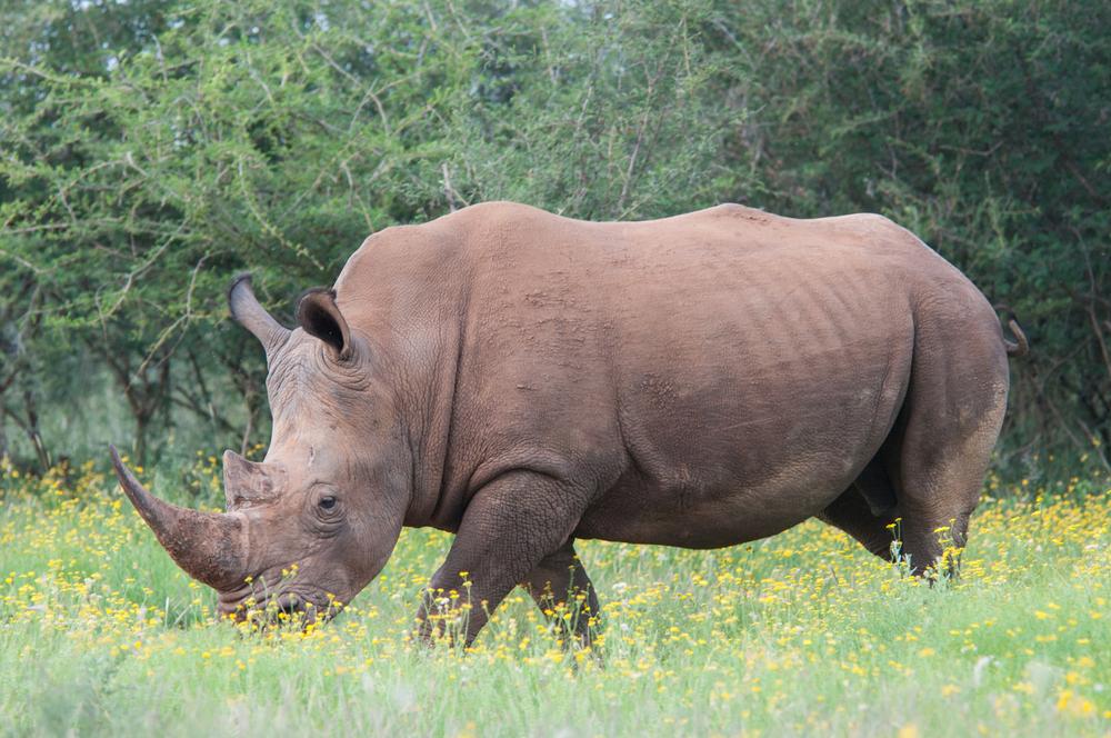 See Rhinos In Luxury At Rhino Ridge Safari Lodge