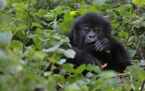 Young gorilla at Volcanoes National Park, Rwanda (Shutterstock)