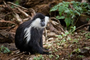 A colobus monkey in Nyungwe Forest, Rwanda (Shutterstock)