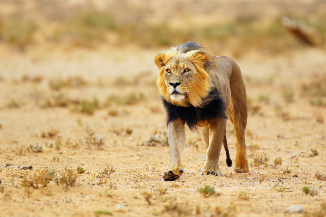 A black-maned lion in Kgalagadi (Shutterstock)