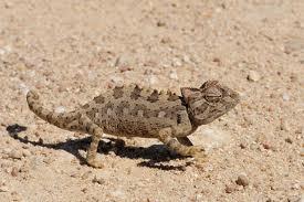 Namaqua Chameleon (wikipedia)