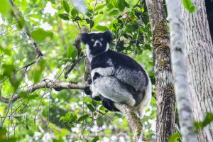 An indri lemur in Madagascar (Shutterstock)