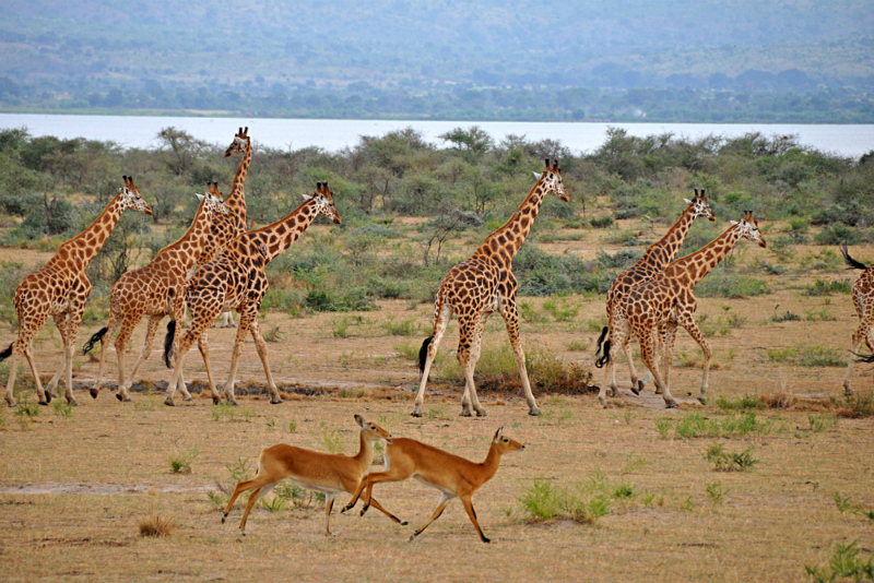 Giraffes and gazelles in Murchison Falls National Park, Uganda (Shutterstock)