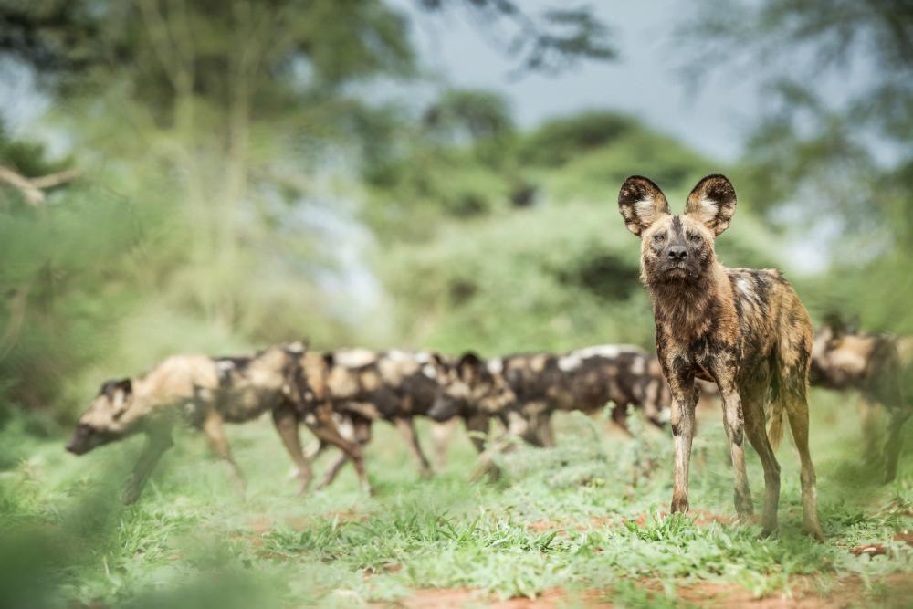 suter hyena