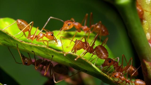 invasive species in africa