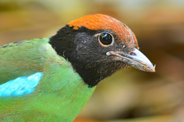 green breasted pitta