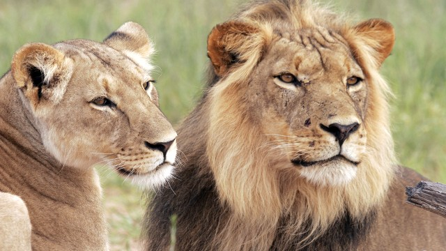 Photo Of The Day: World Lion Day