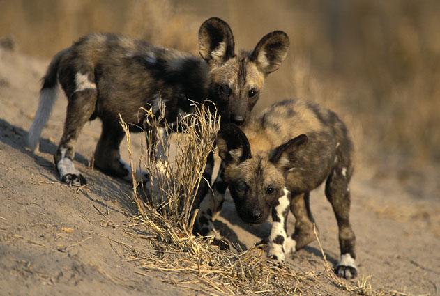 Wild dog and puppies (wikipedia)