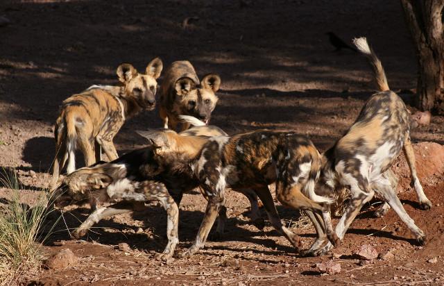 wild dogs packs