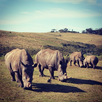 Rhinos at Botlierskop (photograph by ExoTravels)