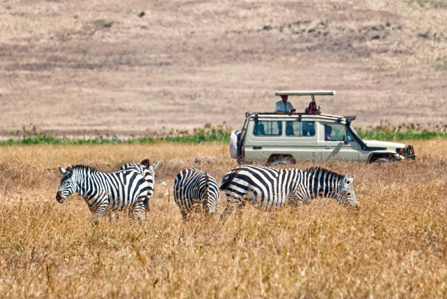 Safari with Zebras