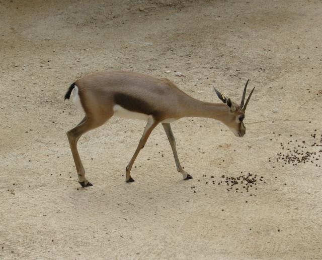 Specke's Gazelle