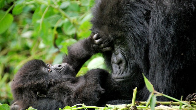 mother and baby gorilla