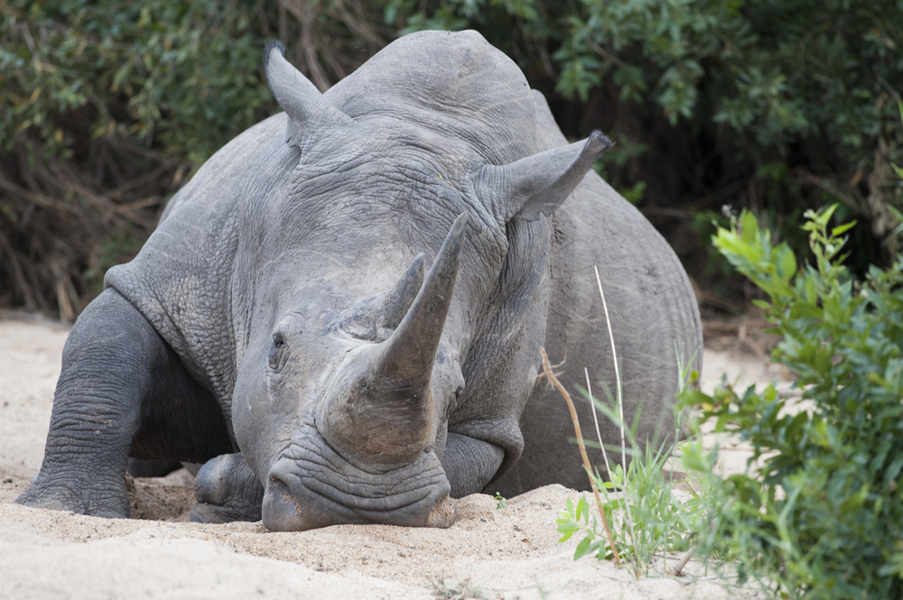 South Africa Puts Rhino Poacher Away For 77 Years