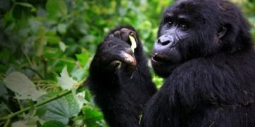 Gorilla Tourism In Uganda