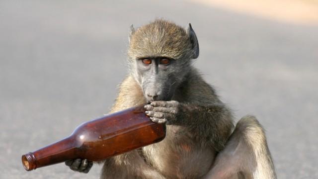 Kenya Warns Travelers Not To Get Baboons Tipsy