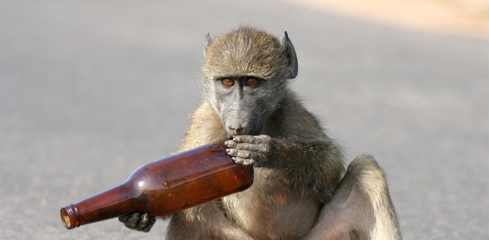 Kenya Warns Travelers Not To Get Baboons Tipsy