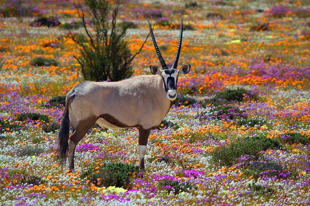 namaqua oryx