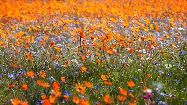 Namaqua flowers