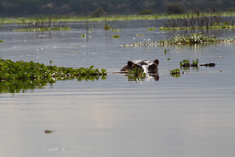 Hippo in Lake Naivasha (Oldandsolo/Flickr)