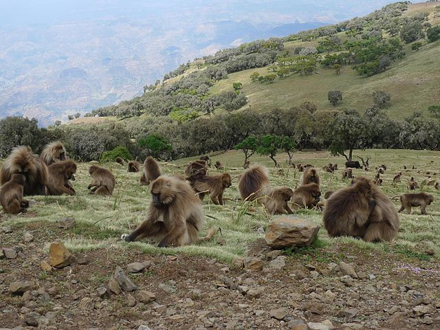 Gelada Baboons in the Simien Mountains (Alastair Rae/Wikipedia Commons)