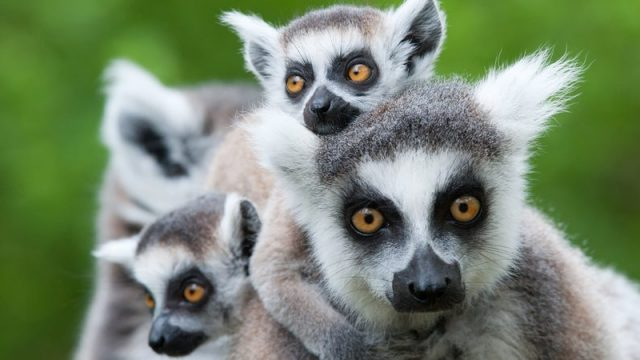 10 Things You Didn T Know About The Lemurs Of Madagascar