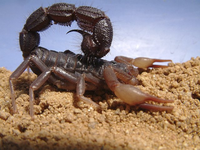 fat tail scorpion