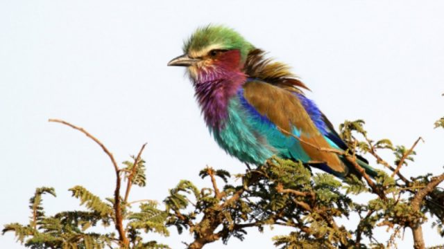 Lilac-breasted roller. Shutterstock